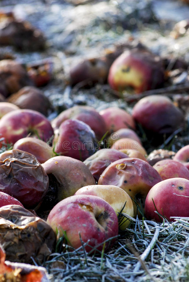 Rotten apples. Picture of a Rotten apples with bokeh royalty free stock image