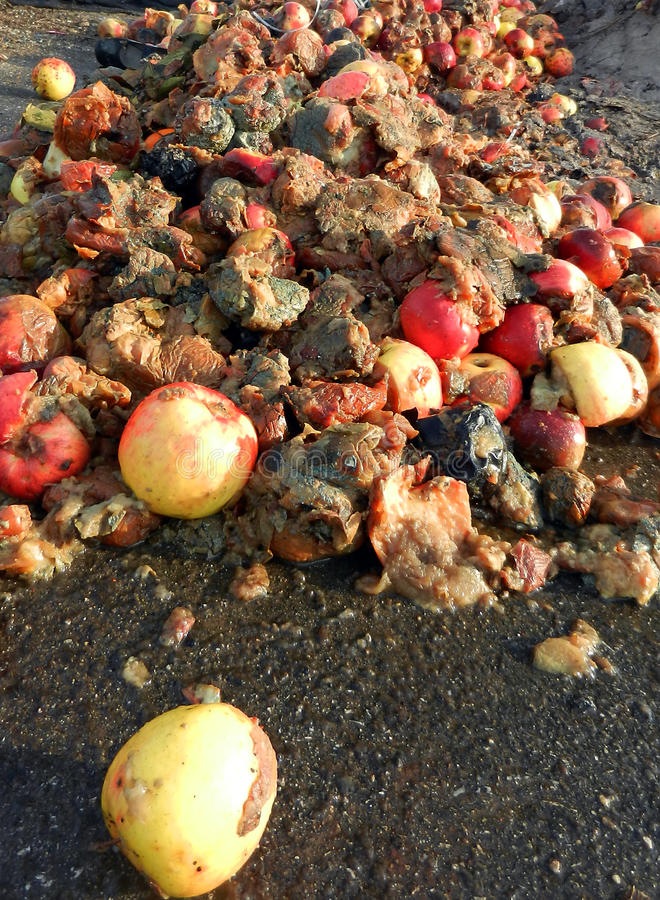 Rotten apples. Picture of a rotten apples, organic pollution concept royalty free stock photo