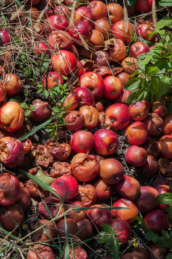 Rotten apples. Piled up on the ground by a tree stock photography