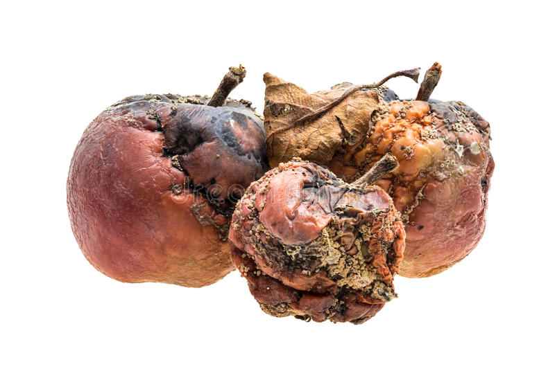 Rotten apples. Three rotten apples with wrinkles and spots on white background stock photos
