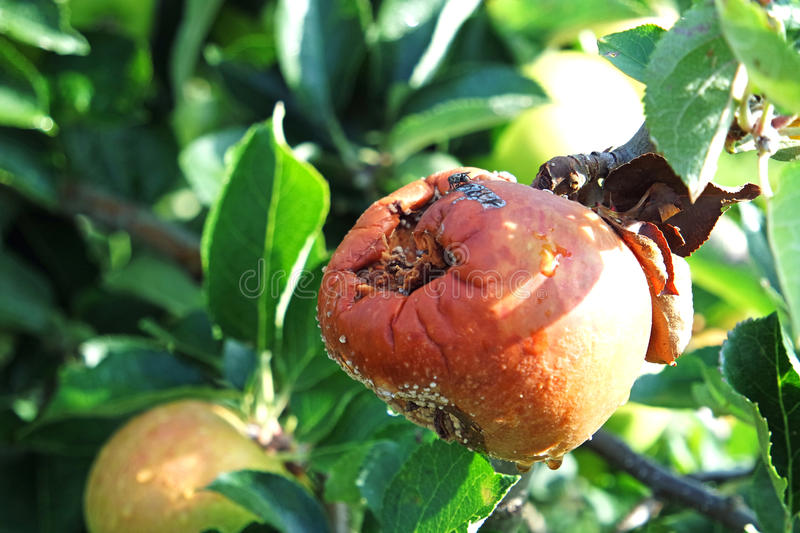 Rotten bad apple on a tree. A very rotten apple still on the tree with a fly royalty free stock photography