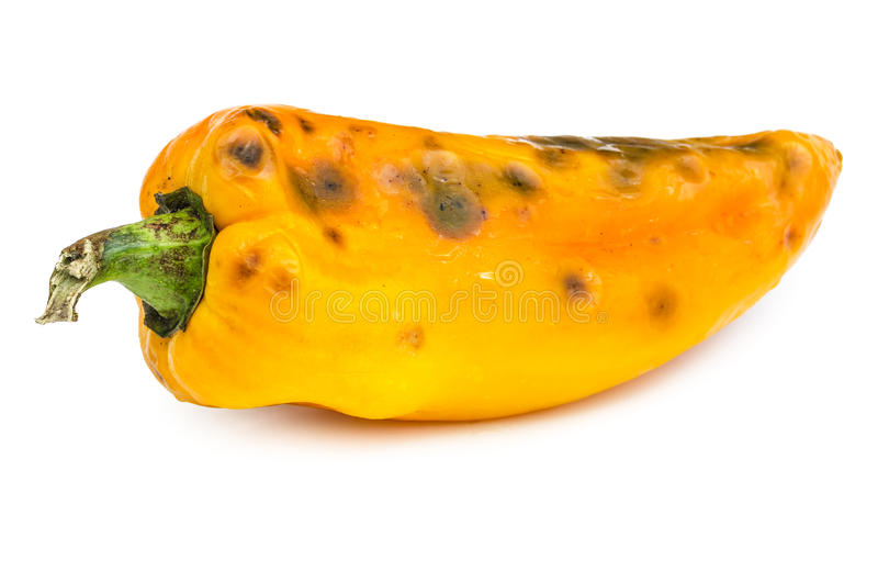 Rotten bellpepper isolated on white. Background. Moldy vegetable royalty free stock photo