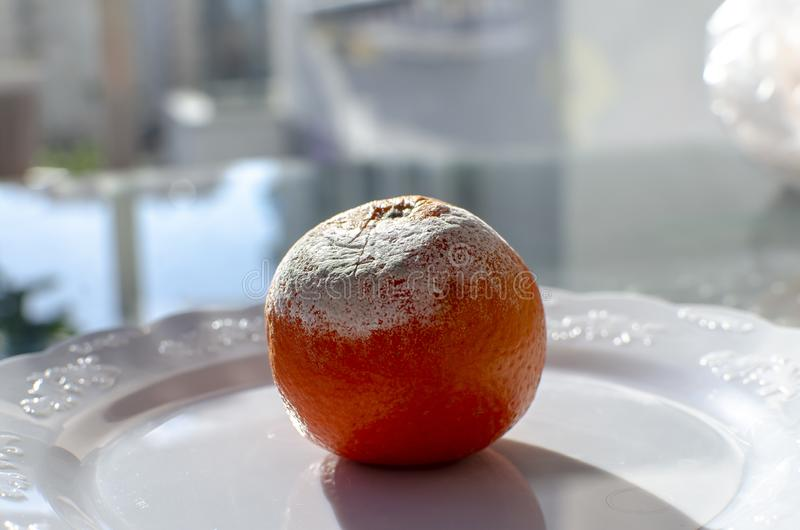 Rotten citrus. Penicillium mold on a mandarin fruit royalty free stock photo