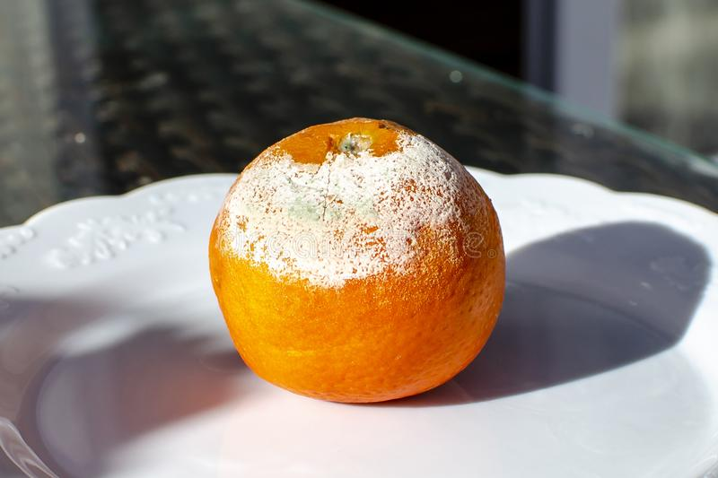 Rotten citrus. Penicillium mold on a mandarin fruit stock photos