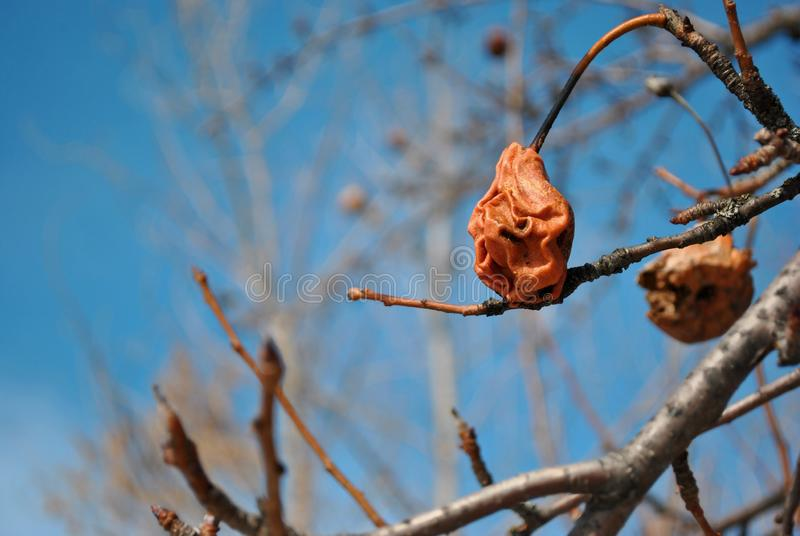 Rotten dry red last year pear on tree, close up detail, soft blurry gray twigs and sky background royalty free stock images