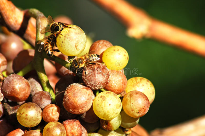 Rotten grapes. Bees are sucking the sweet fruit-flesh from the rotten grapes royalty free stock photos