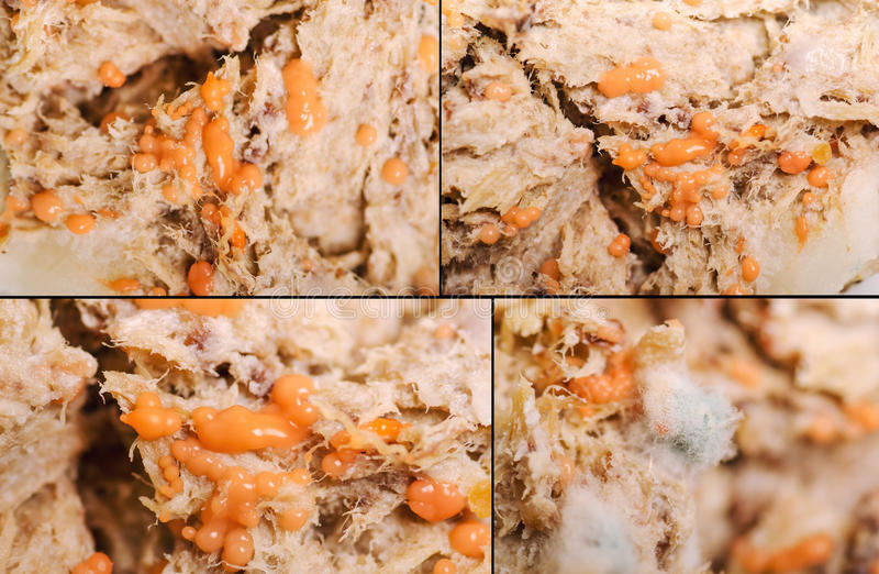 Rotten meat. With mold and bacterial colony stock photography