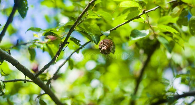 Rotten mirabelle in tree. Rotten mirabelle in the tree royalty free stock photos