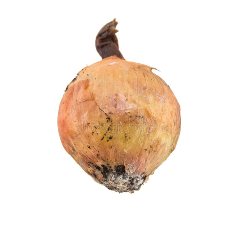 Rotten onion isolated. On white background stock photo