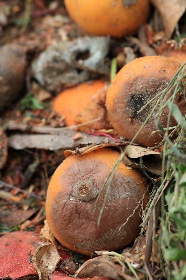 Rotten oranges stock photo