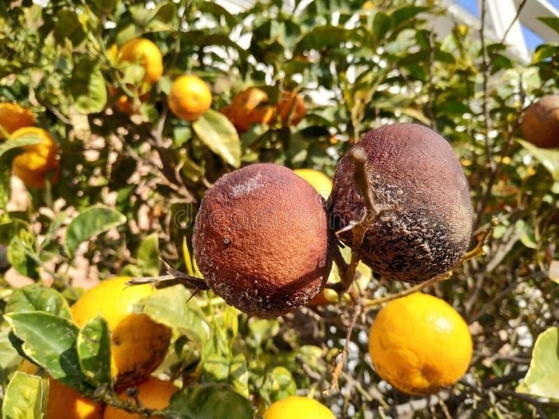Rotten oranges in the orange tree. In Spain stock images