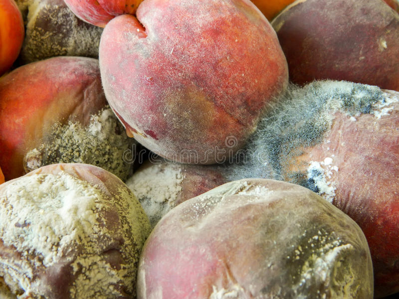 Rotten peaches with mold. Several peaches rotten in the process of fruit fermentation attacked by filaments of mold , closeup stock images