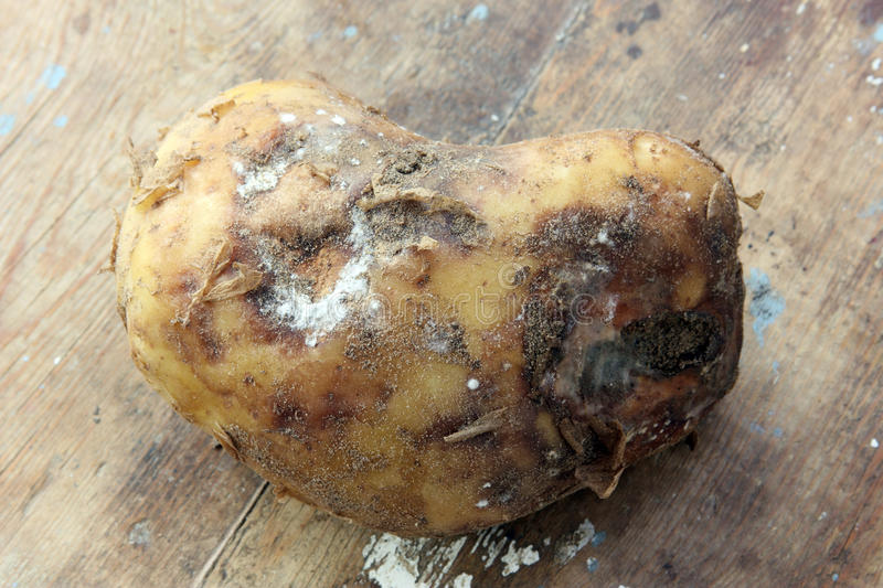 Rotten potato. On rustic wooden background stock image