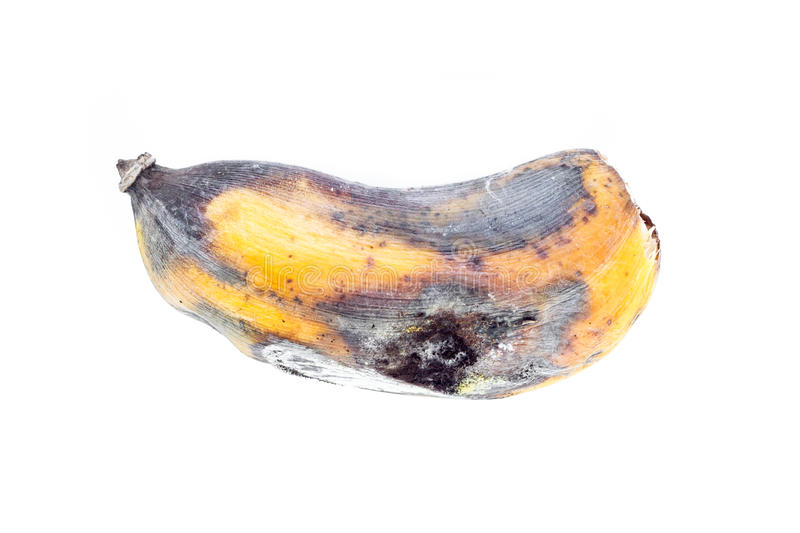 Rotten ripe banana bitten by insects on white background.  stock photography