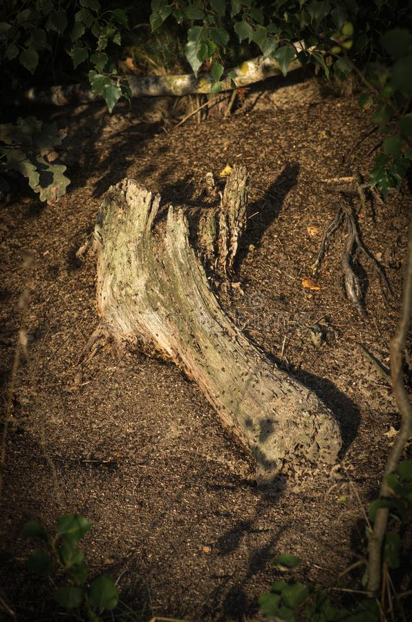 Rotten root Lyme Park Disley, Stockport, Peak District National Park Cheshire England.  stock photography