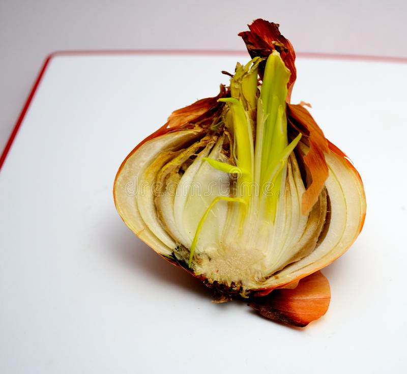 Rotten sprouted onion close up.  royalty free stock image