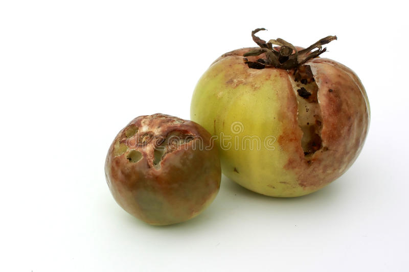 Rotten tomatoes stock image image of brown food single 17344677 download rotten tomatoes stock image image of brown food single 17344677 ccuart Gallery