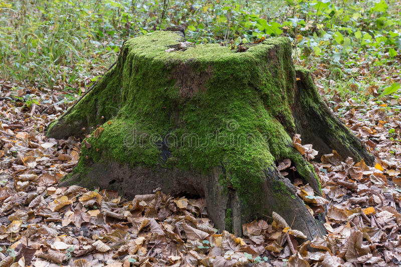 Rotten tree stump with moss. Old, large, rotten tree stump covered with moss in the autumn forest stock images