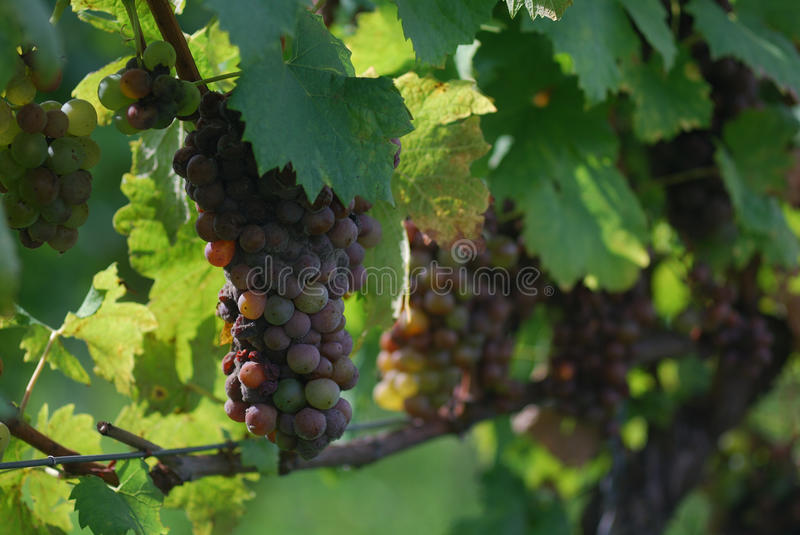 Rotten white grapes in the vineyard stock images