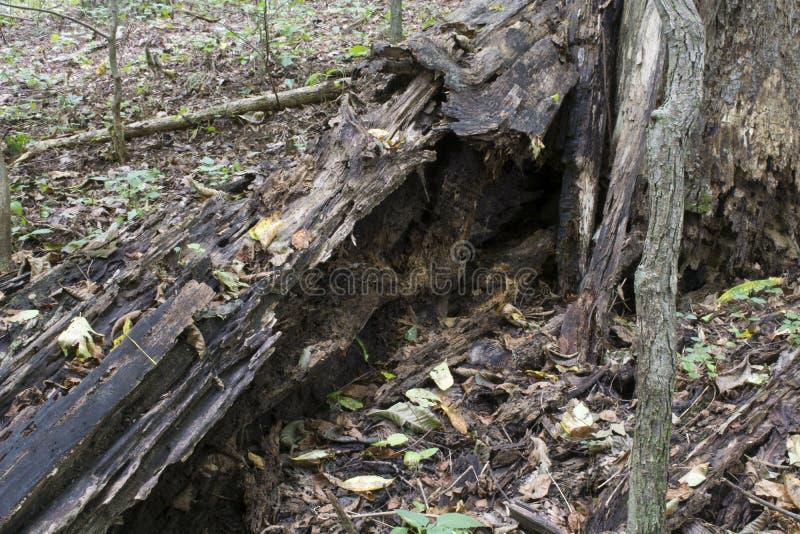 Rottende gevallen boom in het bos stock foto