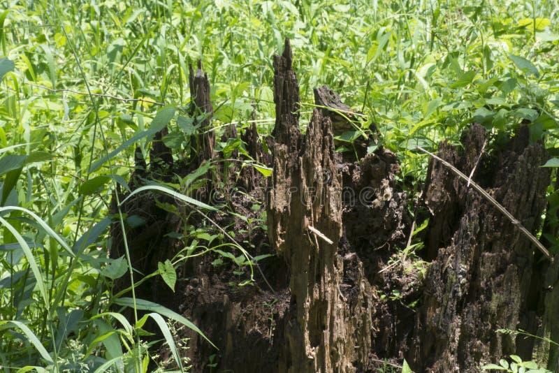 Rottende stomp in grasrijke weide stock afbeelding