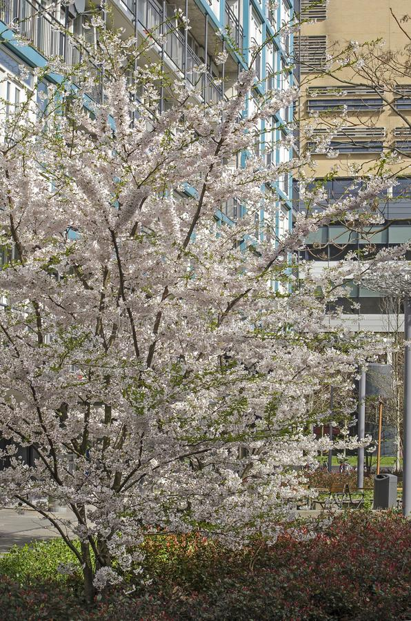 White flowering tree in an urban setting royalty free stock images
