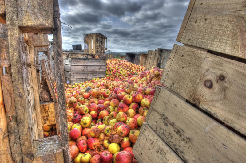 Download Rotting apples and crates stock image. Image of pallets - 26523737