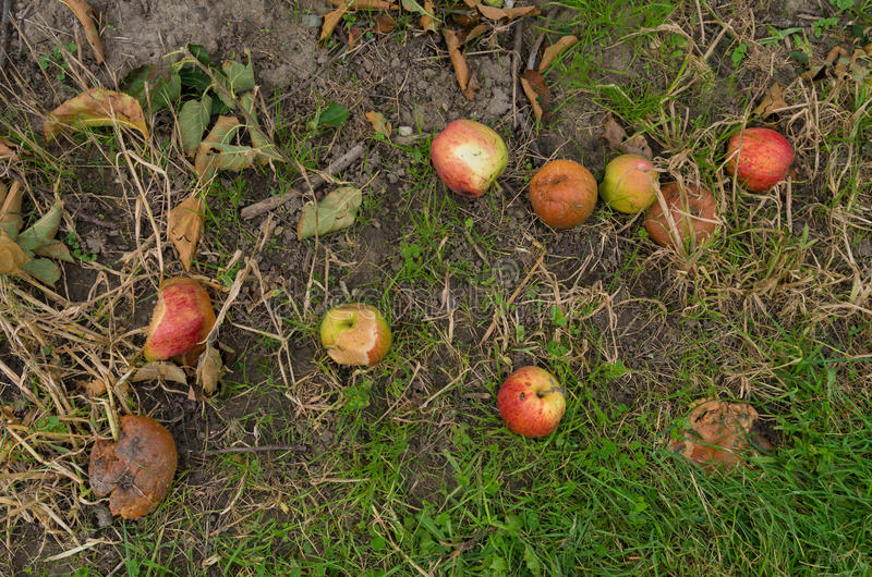 Rotting apples. Fallen and rotting apples on the ground royalty free stock photos