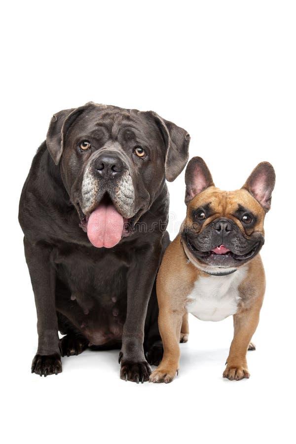 Rotting Corso och fransk bulldogg royaltyfri fotografi