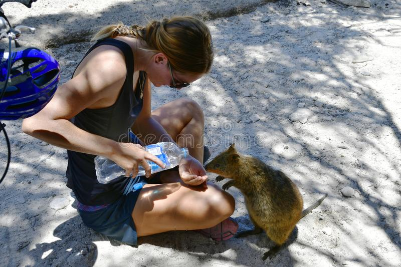 Australia, Zoology, Quokka feeding royalty free stock image