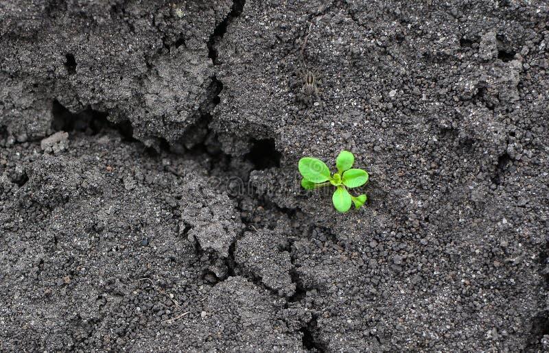 Rotture verdi sole del germoglio attraverso la terra asciutta immagine stock libera da diritti