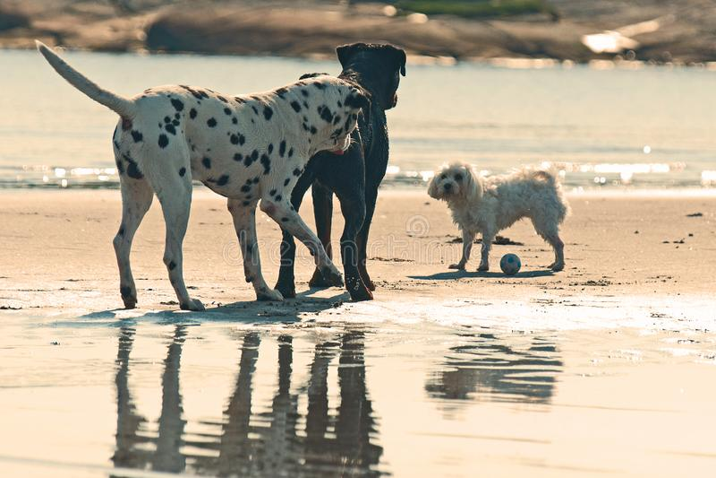 Rottweiler、达尔马提亚狗和一Bichon frisé在海滩 图库摄影