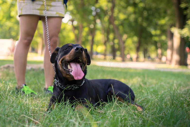 Rottweiler在公园走 图库摄影