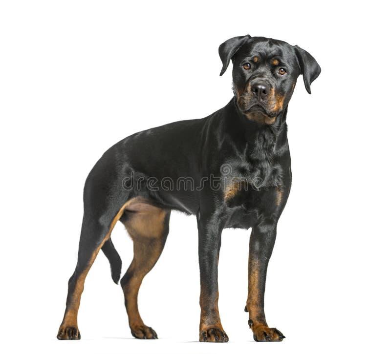 rottweiler狗,站立和看照相机的护卫犬,是 免版税图库摄影