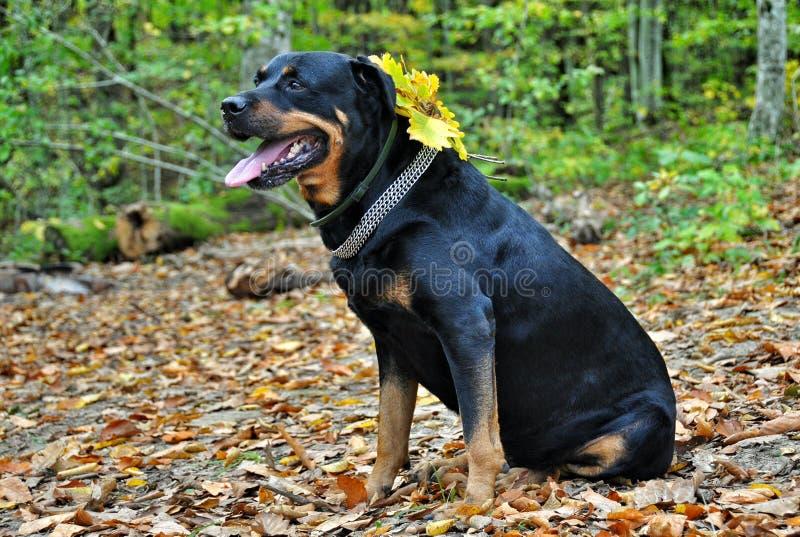 Rottweiler собаки в упаденных листьях осени стоковые фото