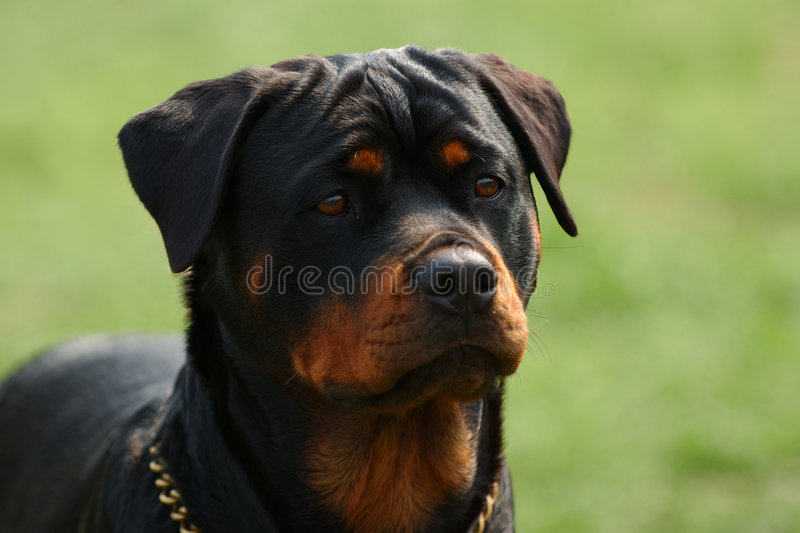 Rottweiler photographie stock