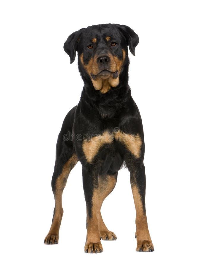 Rottweiler (2 jaar) stock foto