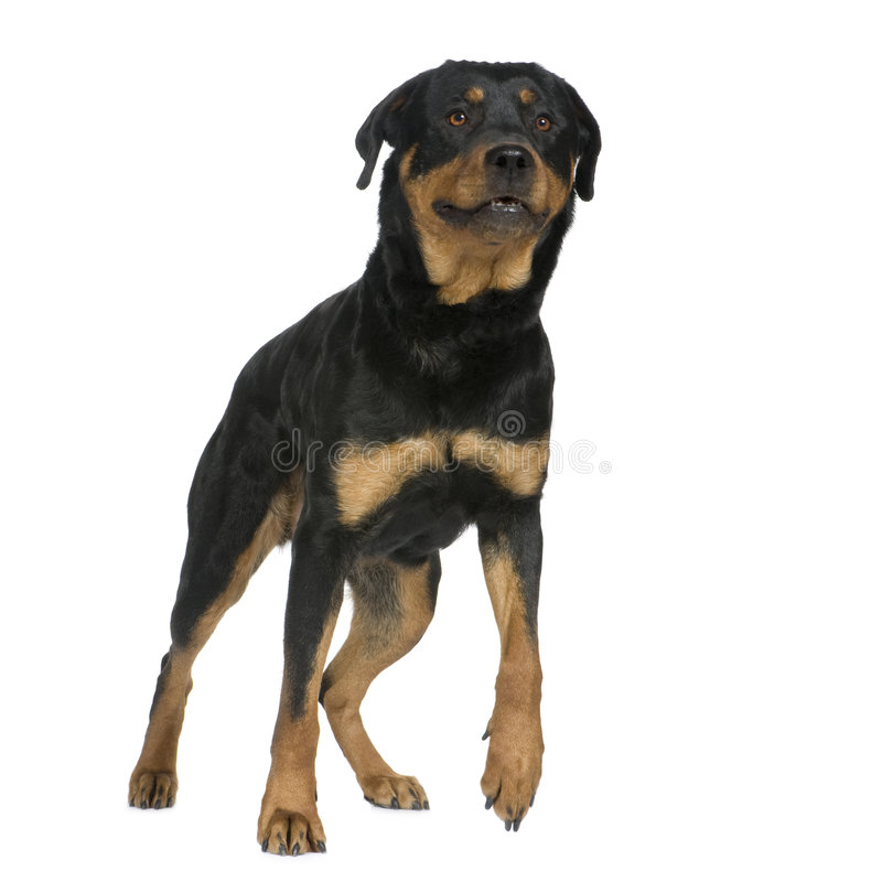 Rottweiler (2 years) stock photo