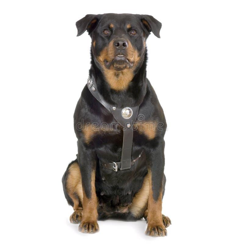 Rottweiler fotografia stock libera da diritti