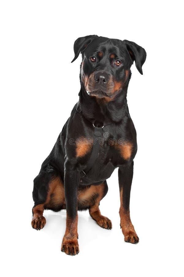 Rottweiler imagenes de archivo