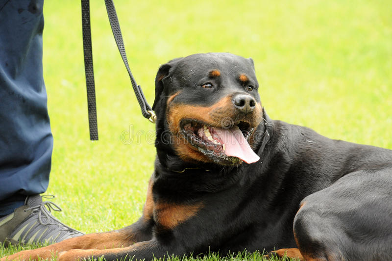 Rottweiler fotografia de stock royalty free