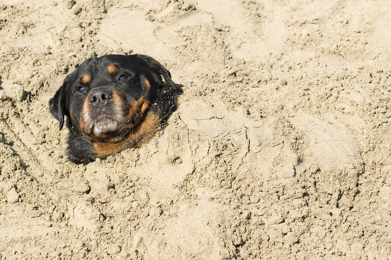 Download Rottweiler stock image. Image of balneotherapy, head - 26610703