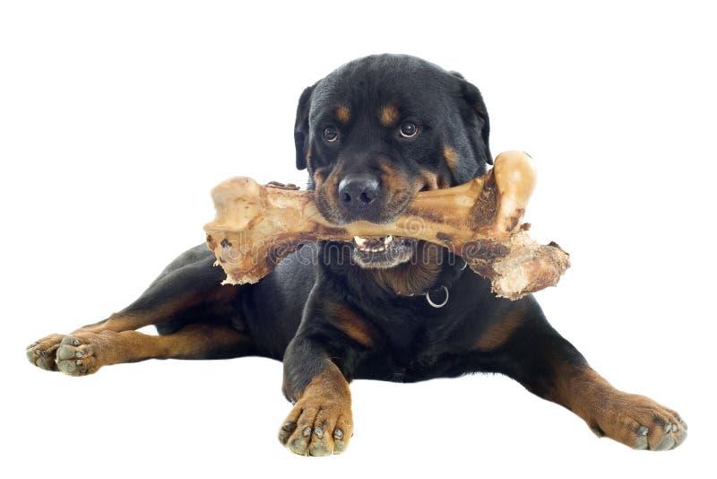 Rottweiler royaltyfri bild