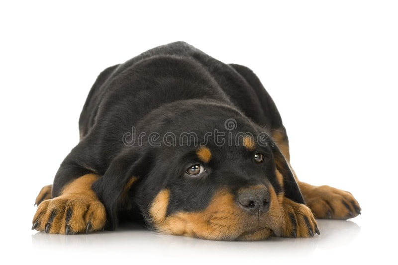 Rottweiler images stock