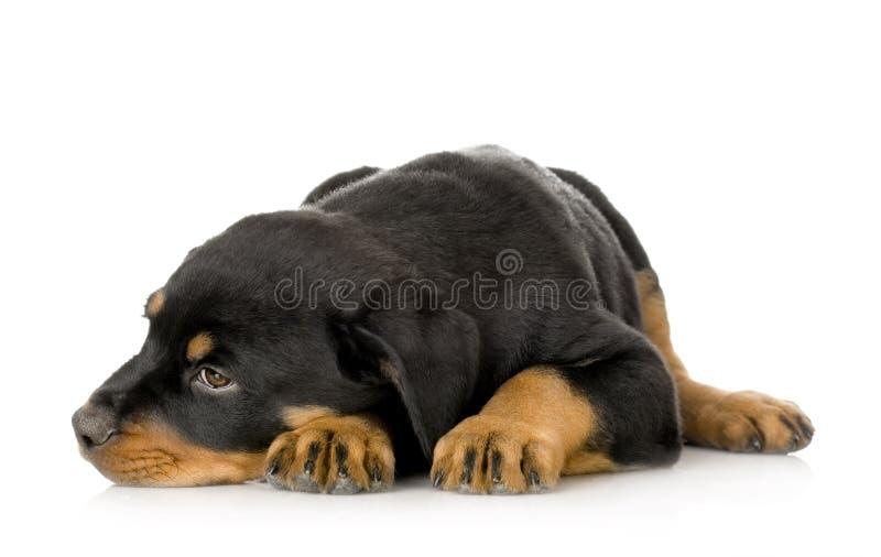 Rottweiler stock afbeelding
