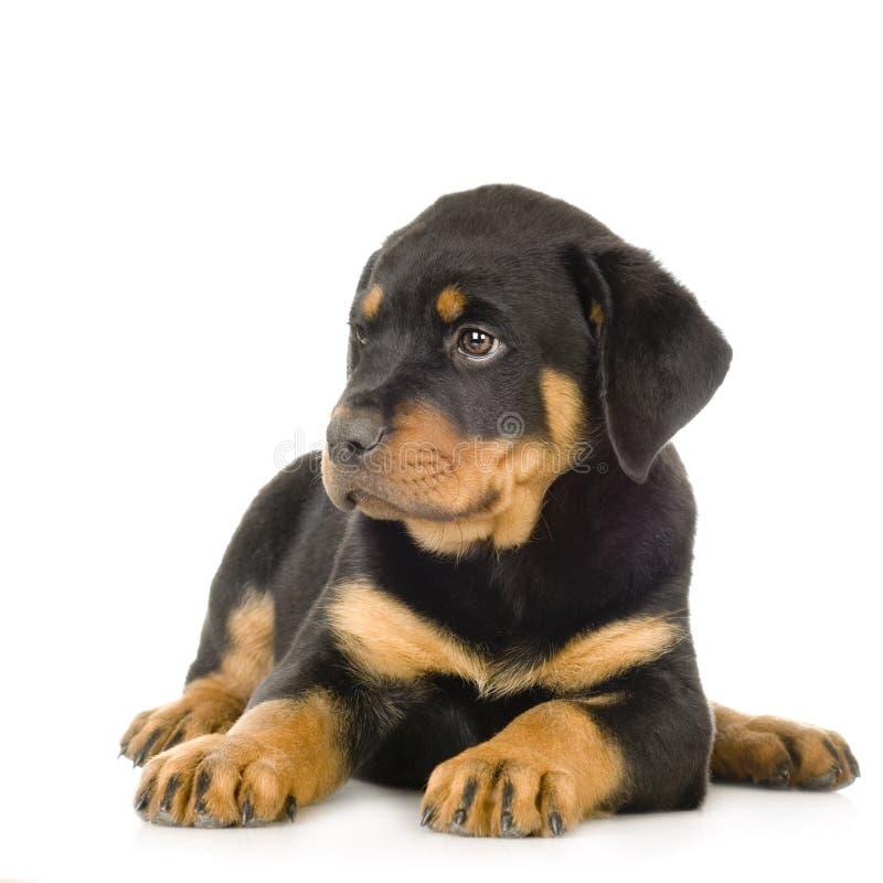 Rottweiler fotografia de stock