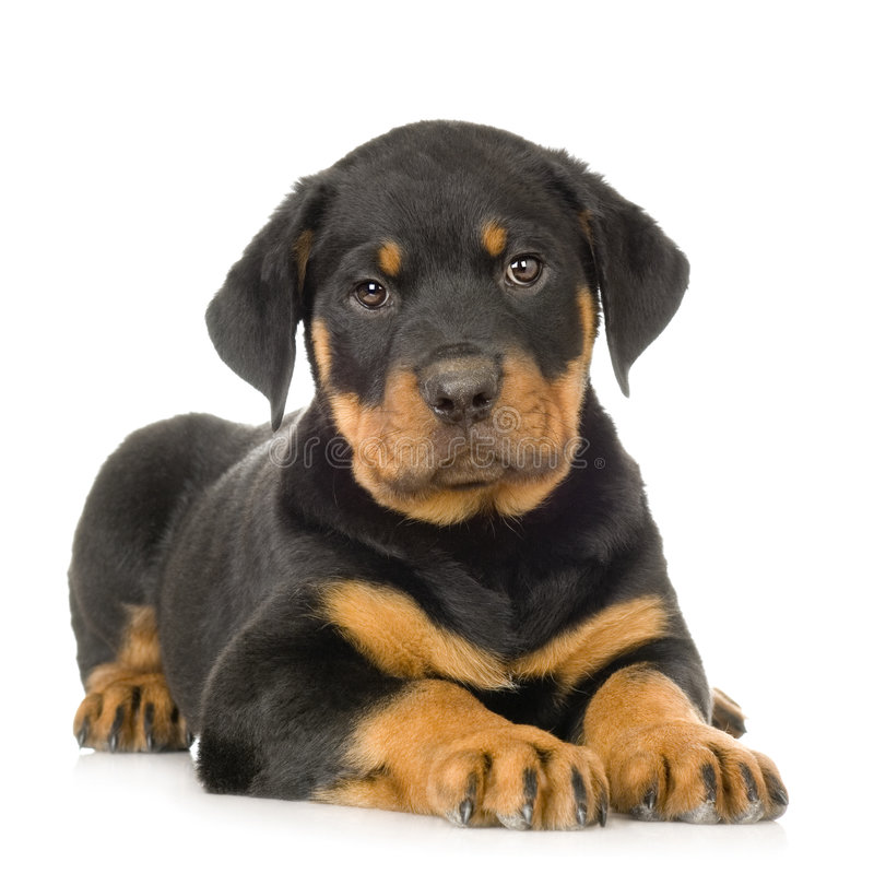Rottweiler imágenes de archivo libres de regalías
