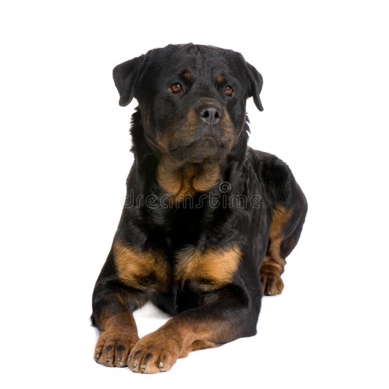 Rottweiler (3 jaar) royalty-vrije stock afbeeldingen