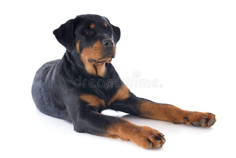 Rottweiler fotos de archivo