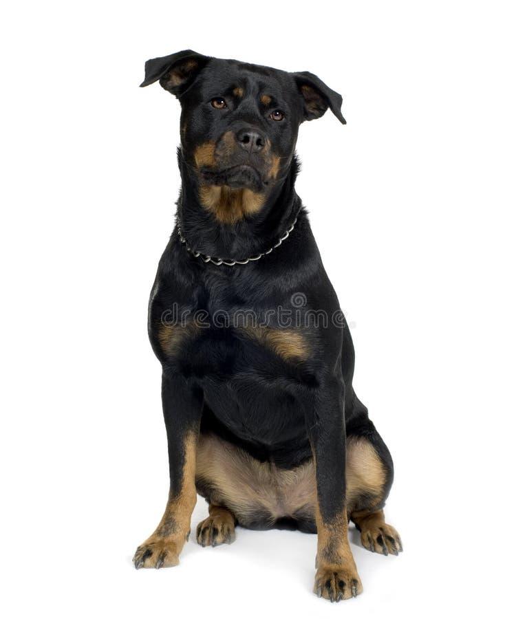 Rottweiler immagini stock